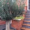 Agujero para plantar olivo en el patio