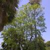 Tala de jacaranda y palmera washintoniana en ribarroja del turia