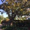 Talar árbol en hondarribia 20280 (gipuzkoa)