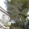 Tala de pino en jardín