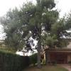 Podar pino de unos 10 metros de altura