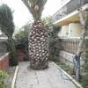 Tala palmera