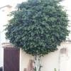 Quitar árbol de pisos y podar ficus benjamina