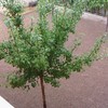 Plantar rollos de cesped natural